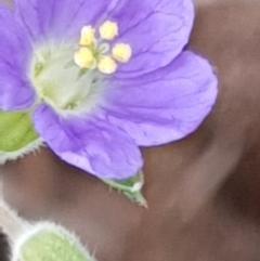 Erodium crinitum (Native Crowfoot) at Mount Painter - 3 Jan 2021 by drakes