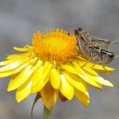 Phaulacridium vittatum (Wingless Grasshopper) at ANBG - 12 Jan 2021 by TimL