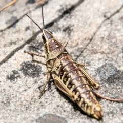 Monistria concinna (Southern Pyrgomorph, Southern Gaudy Grasshopper) at Tidbinbilla Nature Reserve - 8 Jan 2021 by SWishart