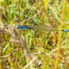 Ischnura heterosticta (Common Bluetail) at Dunlop Grasslands - 12 Jan 2021 by tpreston