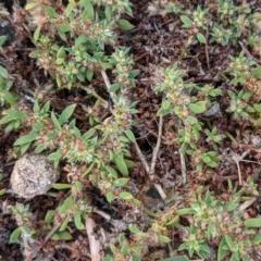 Paronychia brasiliana (Chilean Whitlow Wort, Brazilian Whitlow) at Currawang, NSW - 26 Dec 2020 by camcols