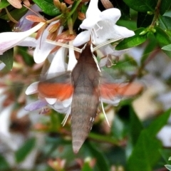 Hippotion scrofa (Coprosma Hawk Moth) at Crooked Corner, NSW - 12 Jan 2021 by Milly