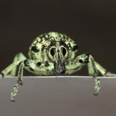 Chrysolopus spectabilis (Botany Bay Weevil) at Lake Ginninderra - 12 Jan 2021 by TimL