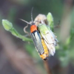 Chauliognathus tricolor (Tricolor soldier beetle) at Red Hill Nature Reserve - 12 Jan 2021 by LisaH