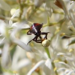 Oechalia schellenbergii (Spined Predatory Shield Bug) at Deakin, ACT - 12 Jan 2021 by LisaH