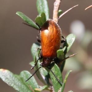 Ecnolagria grandis at Red Hill Nature Reserve - 13 Jan 2021