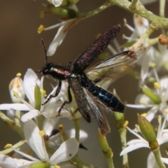 Eleale aspera (Clerid beetle) at Red Hill Nature Reserve - 12 Jan 2021 by LisaH