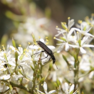 Eleale aspera at Red Hill Nature Reserve - 13 Jan 2021