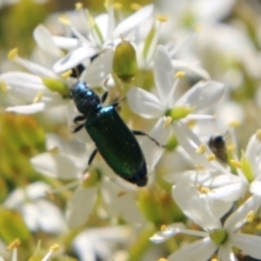 Phlogistus sp. (genus) (Clerid beetle) at Red Hill Nature Reserve - 12 Jan 2021 by LisaH