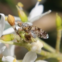 Tephritidae sp. (family) (Unidentified Fruit or Seed fly) at Red Hill Nature Reserve - 13 Jan 2021 by LisaH