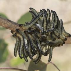 Pseudoperga sp. (genus) (TBC) at The Pinnacle - 12 Jan 2021 by AlisonMilton