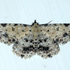 Sandava scitisignata (A noctuid moth) at Ainslie, ACT - 12 Jan 2021 by jbromilow50