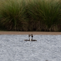 Podiceps cristatus (Great Crested Grebe) at Moss Vale - 6 Jan 2021 by NigeHartley