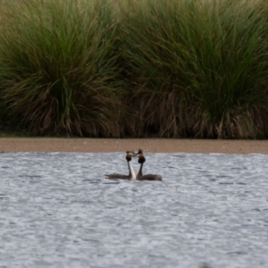 Podiceps cristatus (Great Crested Grebe) at Moss Vale by NigeHartley