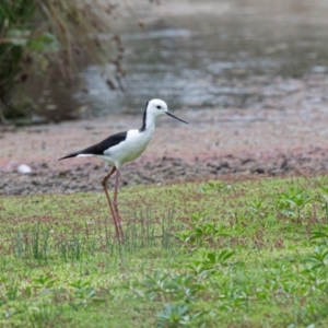 Himantopus leucocephalus at Moss Vale - 6 Jan 2021