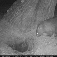 Vombatus ursinus (Wombat) at Rugosa at Yass River - 7 Jan 2021 by SenexRugosus