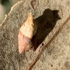 Epiphyas postvittana (Light Brown Apple Moth) at Murrumbateman, NSW - 11 Jan 2021 by SimoneC