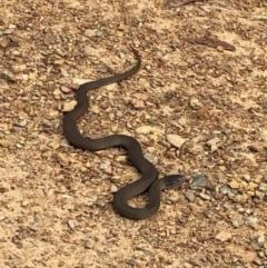 Drysdalia coronoides (White-lipped Snake) at Namadgi National Park - 7 Jan 2021 by kattykat