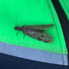 Archichauliodes (Riekochauliodes) guttiferus (Dobsonfly or Fishfly) at Mount Clear, ACT - 8 Jan 2021 by kattykat