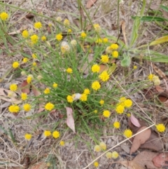 Calotis lappulacea (Yellow burr daisy) at Cook, ACT - 12 Jan 2021 by drakes