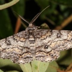 Cleora displicata (A Geometrid moth) at Melba, ACT - 31 Dec 2020 by kasiaaus