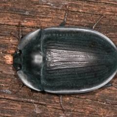 Pterohelaeus piceus (Pie-dish beetle) at Melba, ACT - 31 Dec 2020 by kasiaaus
