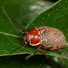 Aporocera (Aporocera) sculptilis (Leaf beetle) at Melba, ACT - 31 Dec 2020 by kasiaaus