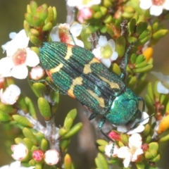 Castiarina flavoviridis (A jewel beetle) at Kosciuszko National Park - 13 Jan 2021 by Harrisi