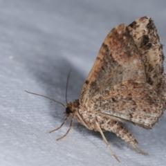 Epyaxa subidaria (Subidaria Moth) at Melba, ACT - 1 Jan 2021 by kasiaaus