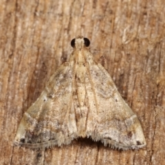 Scenedra decoratalis (A Pyralid moth) at Melba, ACT - 1 Jan 2021 by kasiaaus