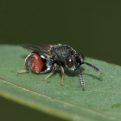 Chalcididae sp. (family) (Unidentified chalcid wasp) at ANBG - 8 Jan 2021 by TimL