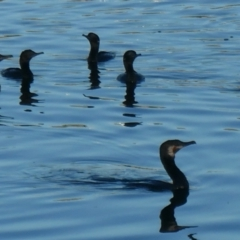 Phalacrocorax sulcirostris (Little Black Cormorant) at Coombs Ponds - 13 Jan 2021 by Hutch68