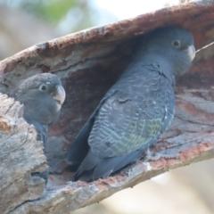 Callocephalon fimbriatum (Gang-gang Cockatoo) at Mount Mugga Mugga - 13 Jan 2021 by roymcd