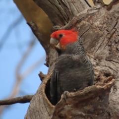 Callocephalon fimbriatum (Gang-gang Cockatoo) at Red Hill Nature Reserve - 13 Jan 2021 by roymcd