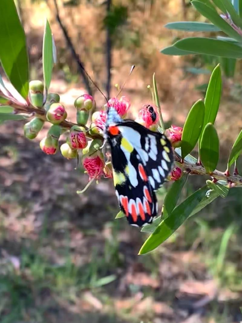 Delias aganippe at Murrumbateman, NSW - 14 Jan 2021