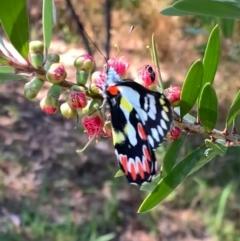 Delias aganippe (Spotted Jezebel) at Murrumbateman, NSW - 13 Jan 2021 by SimoneC