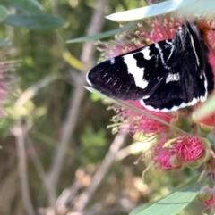 Phalaenoides glycinae (Grapevine Moth) at Murrumbateman, NSW - 13 Jan 2021 by SimoneC