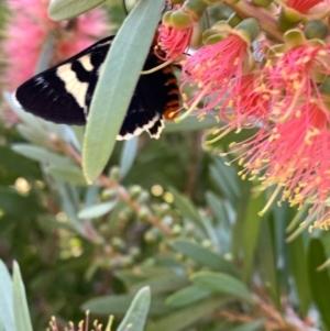Phalaenoides glycinae at Murrumbateman, NSW - 14 Jan 2021