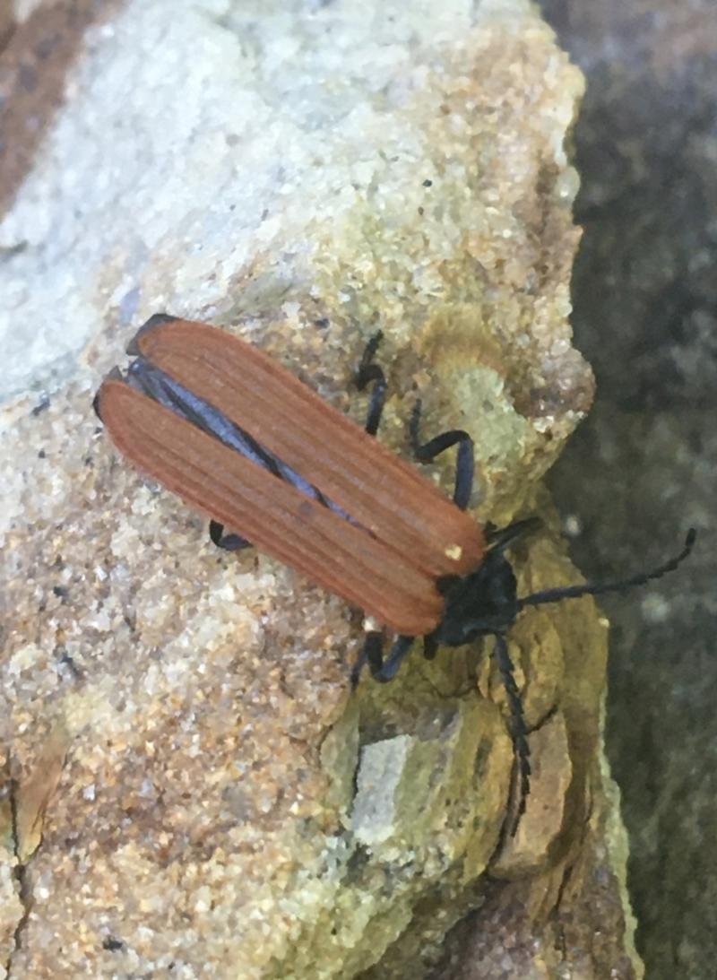 Porrostoma sp. (genus) at Acton, ACT - 14 Jan 2021