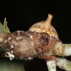 Dolophones sp. (genus) (Wrap-around spider) at Melba, ACT - 1 Jan 2021 by kasiaaus