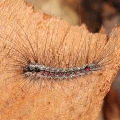 Anestia (genus) (A tiger moth) at Melba, ACT - 1 Jan 2021 by kasiaaus
