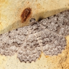 Psilosticha absorpta (Fine-waved Bark Moth) at Melba, ACT - 2 Jan 2021 by kasiaaus