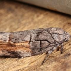 Illidgea epigramma (A Gelechioid moth) at Melba, ACT - 2 Jan 2021 by kasiaaus