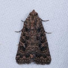Hypoperigea tonsa (A noctuid moth) at Melba, ACT - 2 Jan 2021 by kasiaaus