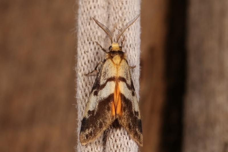 Anestia (genus) at Melba, ACT - 2 Jan 2021