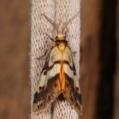 Anestia (genus) (A tiger moth) at Melba, ACT - 2 Jan 2021 by kasiaaus
