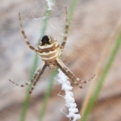 Argiope sp. (genus) (A St. Andrew's cross spider) at Aranda Bushland - 13 Jan 2021 by tpreston