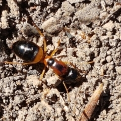 Camponotus consobrinus (Banded sugar ant) at Aranda Bushland - 13 Jan 2021 by tpreston