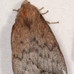 Symphyta sp.(genus) (A Lasiocampid moth) at Melba, ACT - 3 Jan 2021 by kasiaaus