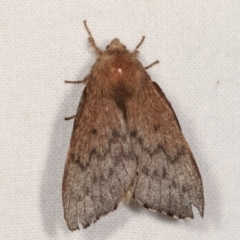Symphyta undescribed species at Melba, ACT - 3 Jan 2021